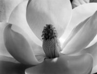 Imogen Cunningham, Magnolia Blossom, 1925