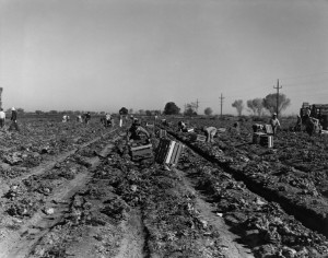 Dorothea Lange, Lettuce Cutting, Imperial Valley, CA, 1937