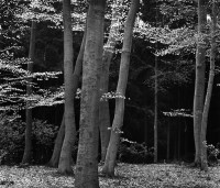 Brett Weston, Beech Forest, Netherlands, 1971