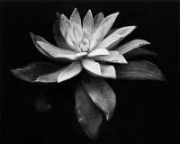 Edward Weston, Succulent, 1932