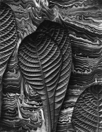 Don Worth, Tropical Leaves, Hoffmannia Reflugens, Mill Valley, 1975