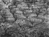 Ansel Adams - Orchard Early Spring Stanford University, CA, 1940