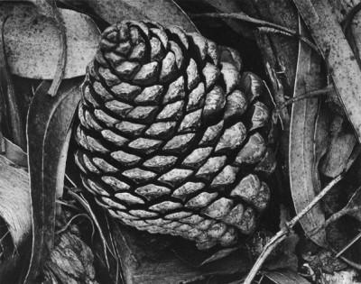 Ansel Adams - Pine Cones and Eucalyptus Tree, 1932