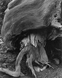 Cypress, Point Lobos 1929