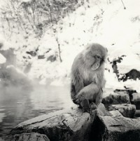 Rolfe Horn, Snow Monkeys, Study 2, Jigokudani, Japan, 2004
