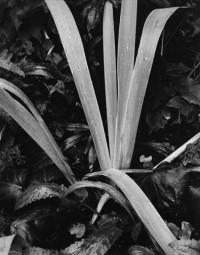 Paul Strand, Iris Facing Winter, Orgeval, 1973