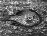 Paul Caponigro, Sunfish, Concord, Massachusetts, 1961