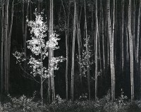 Ansel Adams, Aspens, Northern New Mexico, 1958