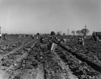 Dorothea Lange, Lettuce Field, Imperial Valley, 1937