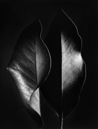 Ruth Bernhard, Two Leaves, 1952