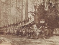 H.C. Tibbitts, The Fall of the Monarch with Troop F, Sixth Cavalry, United States Army, Mariposa Big Tree Grove, Southern Pacific Company, 1899
