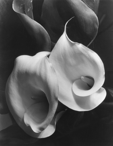 Imogen Cunningham - Two Calla's 1920's