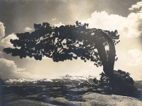 Attributed to Earl Brooks, Lone Pine On Sentinel Dome, Yosemite, California, 1923