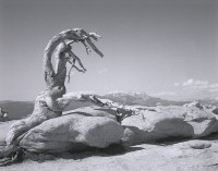 Mark Klett and Byron Wolfe, The Trunk Of The Jeffrey Pine, Killed By Drought, Sentinel Dome, 2002