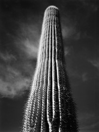 Ansel Adams, Saguaro Cactus, Sunrise, Arizona, 1946