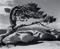 Ansel Adams, Jeffrey Pine, Sentinel Dome, Yosemite, 1940