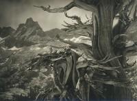 Cedric Wright, Bristle Cone Pine, circa 1930