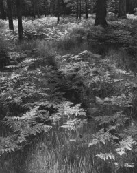 Ansel Adams, Ferns, Valley Floor, Yosemite National Park, California, 1948