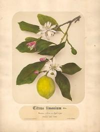 Pietro Guidi, Citrus Limonium, circa 1870's