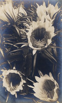 Anonymous Photographer, Sunflowers, 1937