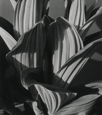 Imogen Cunningham, False Hellbore, 1926
