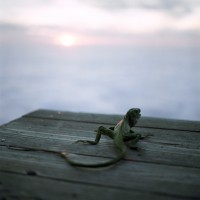 Lucy Goodhart - Lizard at Sunset, Big Sur, CA 2004