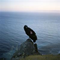Lucy Goodhart - Condor 36, Big Sur, CA, 2004