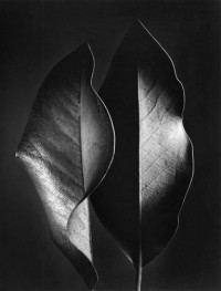 Ruth Bernhard, Two Leaves, 1952