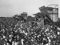 Marion Post Wolcott - Cotton Field, 1930