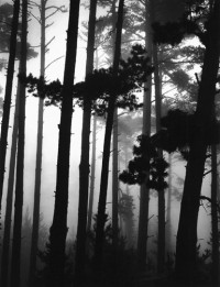 Monterey Pines In Fog, 1962