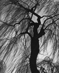 Weeping Willow, Eugene, Oregon, 1975