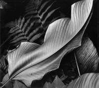 Leaf, And Ferns, Hawaii, 1979