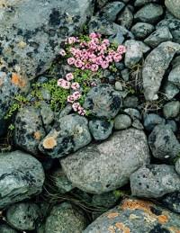Pinks on Glacial Moraine, South Coast, 1972