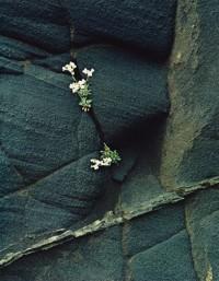 White Flowers in Black Ash Cliff Breidhidalur, 1972