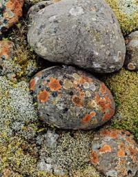 Lichens on River Stone, South Coast, 1972