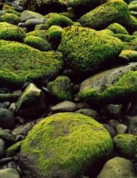 Sea Weed at Low Tide, Hellnar Snaefellsnes, 1972