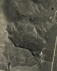 Pattern Orange Orchard From Air, Ranch Near Santa Paula, 1932