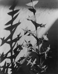 Imogen Cunningham - Colletia Cruciata, 1929