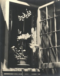 Rex Begonia In Bloom, 1933