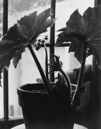 Rex Begonia In Bloom, Circa 1938