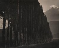 Eucalyptus, Carmel, 1939