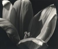 Tulip, 1939