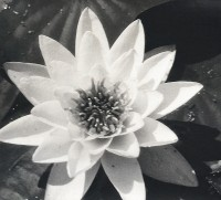 Water Lily, Circa 1938