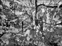 Fig Tree, 2005