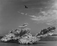Coral and Pelican, Sanibel Island, Florida, 1943