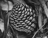 Pine Cones and Eucalyptus Tree, 1932