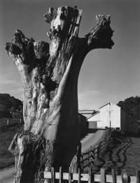 Eucalyptus Stump and Barn Olema, California, circa 1934