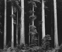 Ansel Adams – Northern California Coast Redwoods, 1960