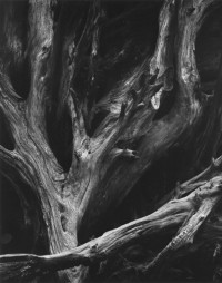 Ansel Adams – Sequoia Roots, Mariposa Grove, Yosemite National Park, CA, 1963