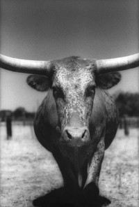 Burt Pritzker - Steer #1, Art, Texas (2000)